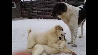 Щенячьи разборки ))) Щенки алабая возраст 3 месяца