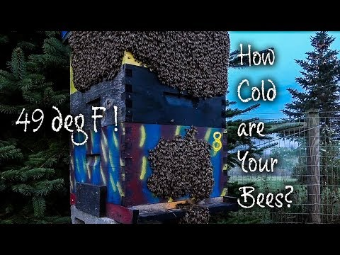 Honey Bees Bearding Outside How HOT are Those Bees Thermal Imaging FLIR C2
