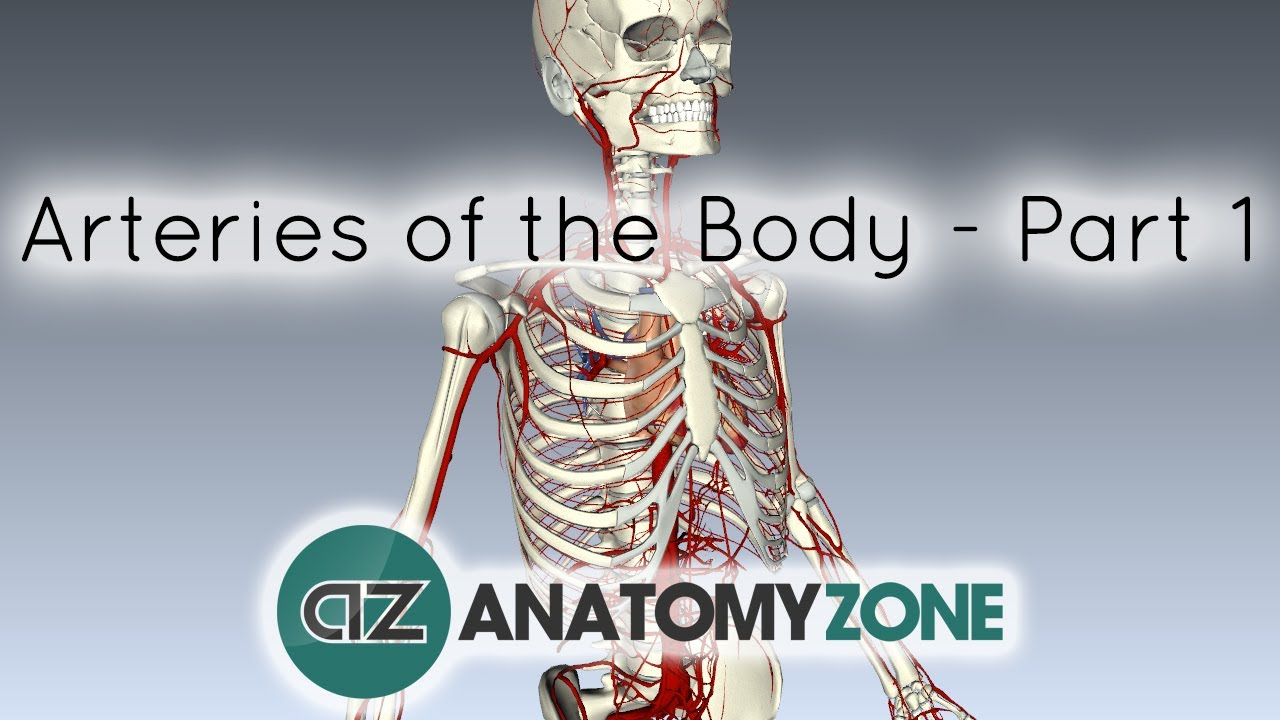 Arteries of the body - PART 1 - Anatomy Tutorial - YouTube