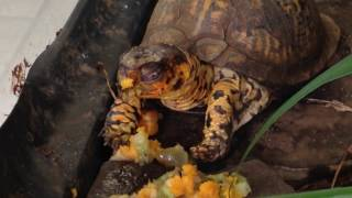 LIST OF FOOD FOR YOUR BOX TURTLE