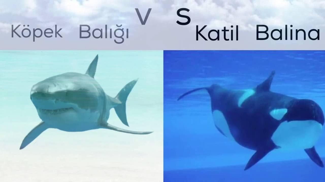 Köpek Balığı Vs Katil Balina Youtube
