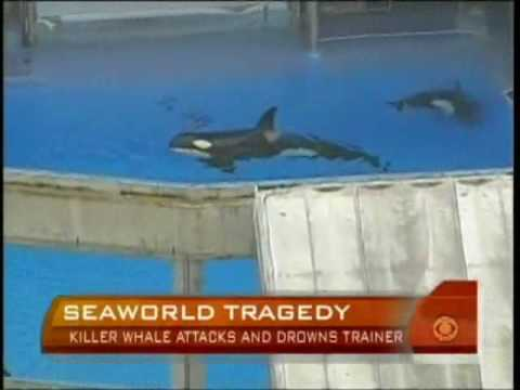killer whale attackskilles trainer at sea world has real