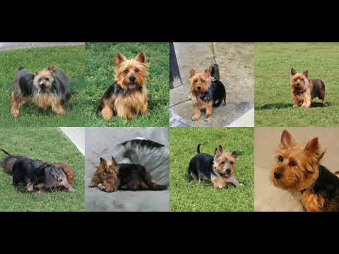 Generating Australian Terrier with Deep Learning
