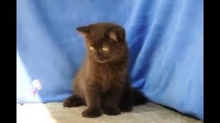 Британский шоколадный котенок в питомнике BRITISH HOUSE кот Байкал
