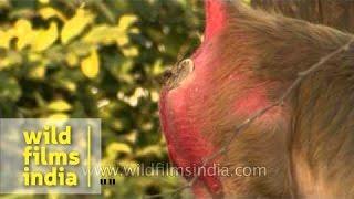 Big red monkey butt