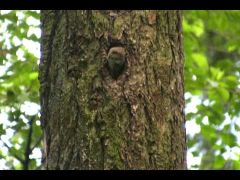 Northern Pygmy-Owls of Portland