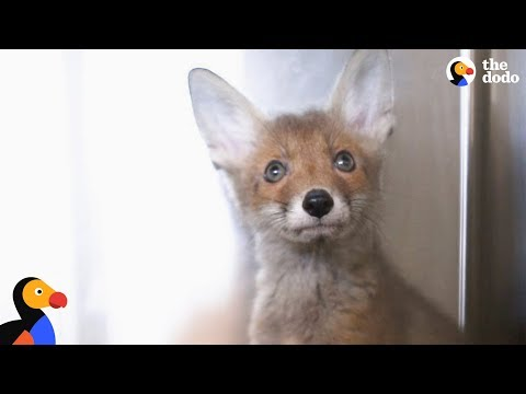 Thumbnail: Rescued Fox Released Into The Wild With His Best Friend | The Dodo