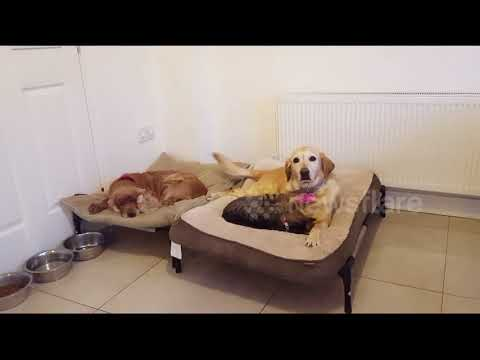 You paw thing: Cat tricks dog with cuddling to kick dog out of own bed