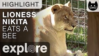 Lioness Eats a Bee - Live Camera Highlight thumbnail