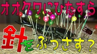 昆虫採集☆カブトムシ☆クワガタムシ 標本の作り方(作成方法)オオクワガ...