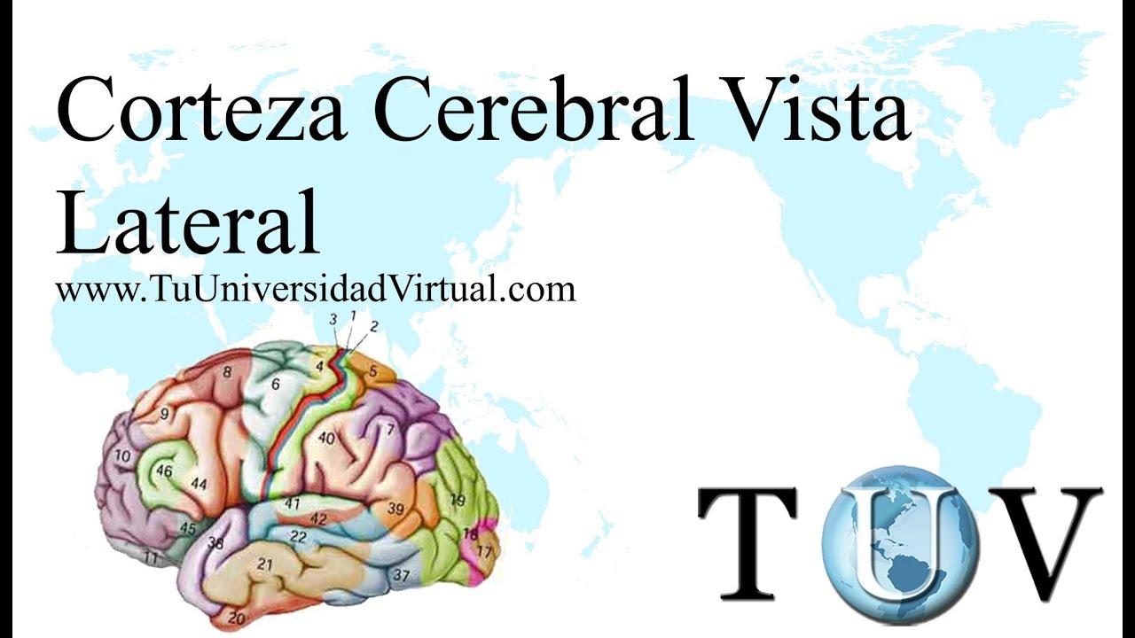 corteza cerebral areas reconocimiento giros y cisuras vista lateral ...