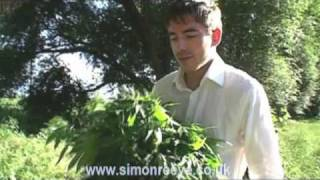 Marijuana growing wild by the roadside