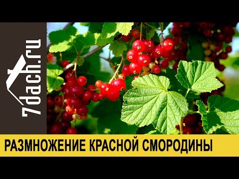 Как черенковать красную смородину осенью
