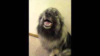 Our smiling Keeshond. :)