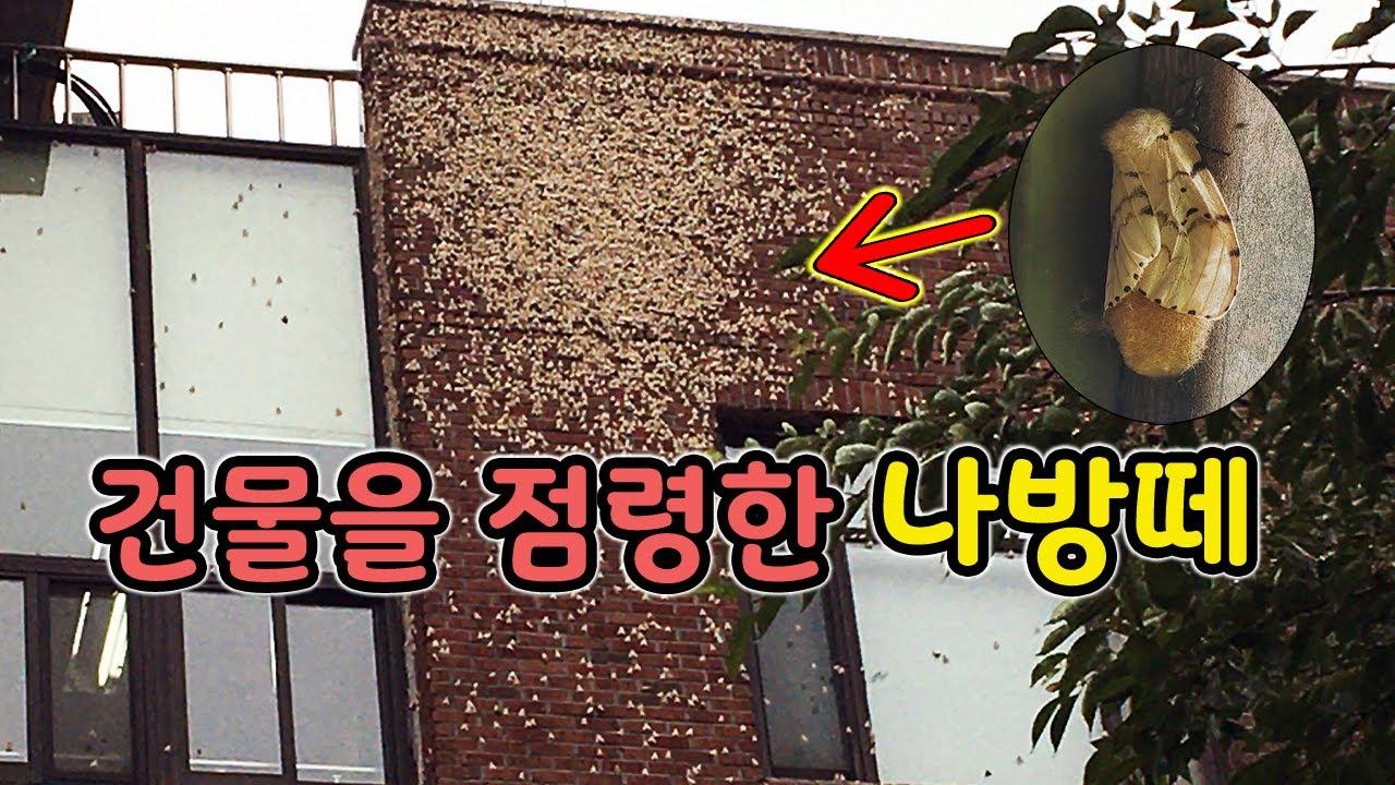건물을 뒤덮어 버린 매미나방 실제로 찍다가 알러지 올라왔습니다 [오브리더]
