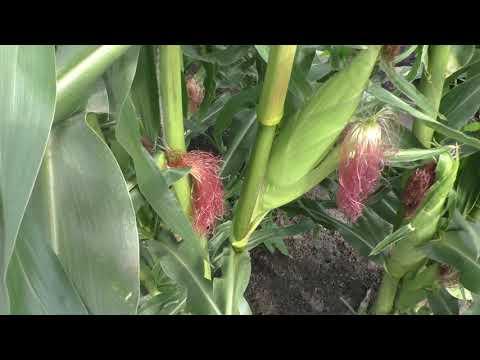 Сравниваю урожайность кукурузы с пасынками и без пасынков