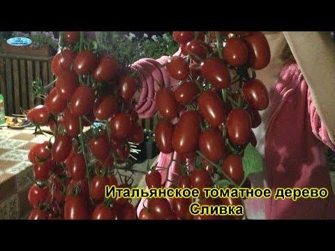 Обзор самых популярных сортов томатов, которые выращивают у нас! | популярные | помидоры | томатов | томаты | лучшие | сорта