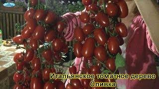 Обзор самых популярных сортов томатов, которые выращивают у нас!