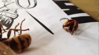 Giant hornet/wasp beheaded and still angry