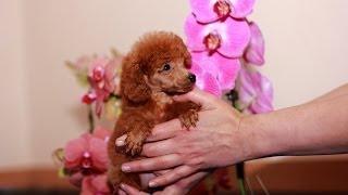 Продаются щенки миниатюрного пуделя. Очень веселые щенки!