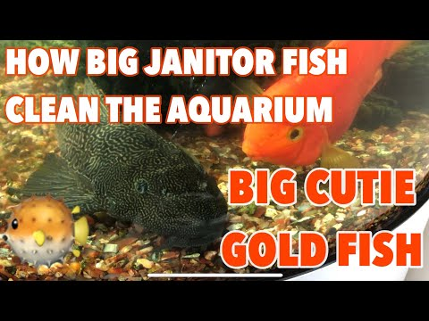 BIG GOLDFISH | HOW THE BIG JANITOR FISH CLEAN THE AQUARIUM