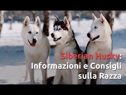 Razza Husky: Informazioni e Consigli Utili