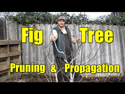 Fig Tree Pruning & Propagation | All You Need To Know