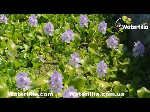 Водяной гиацинт очень много цветов, цветёт постоянно