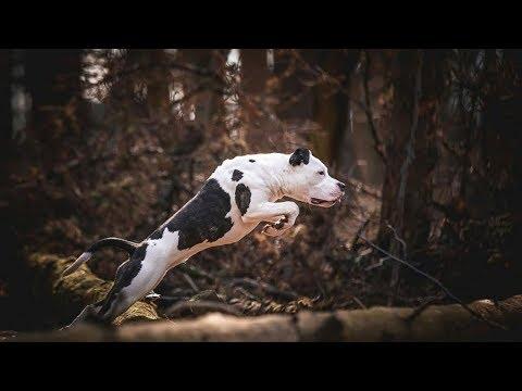 American Staffordshire Terrier Muscular Beast Dog.