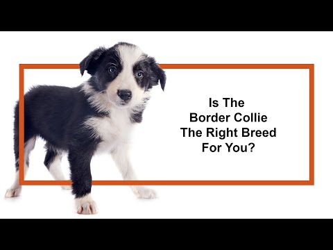 Everything Puppies - Border Collie Breed Information (2019)