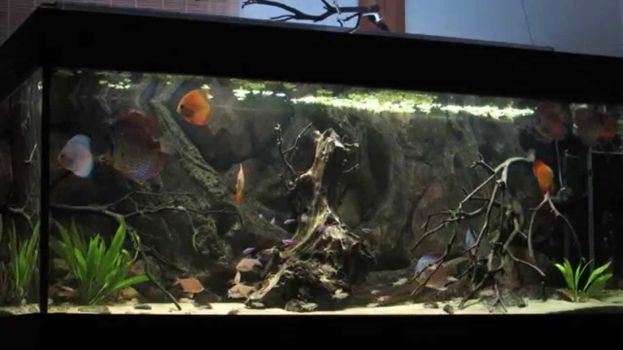 3d Fish Tank Wallpaper South American Community Aquarium Discus Tank Youtube