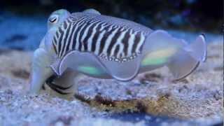 Bébé seiche - Baby cuttlefish