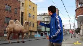 El camello avispado