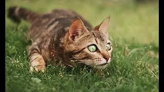 Самые дорогие кошки в мире. Подборка редких и дорогих пород.