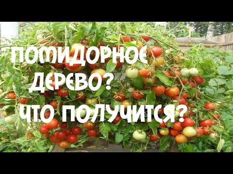 Томаты, помидоры: описание, выращивание, уход, вредители