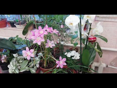 Как получить дружное цветение выскочки (зефирантес)