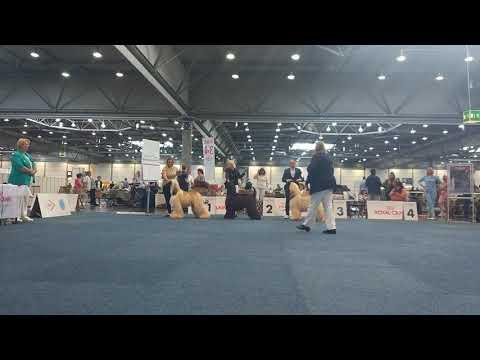 Afghan Hound  male r.CACIB International Dog Show Leipzig 2019