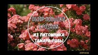 Обзор посылки с розами из питомника Тамара розы. Роза Ferdy
