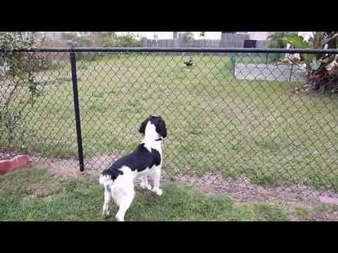 Bella, Springer Spaniel Is Intrigued With Neighborhood Ducks