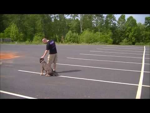 Off Leash Heeling | 3 Year Old American Staffordshire Terrier | Smyrna Dog Trainer