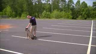 Off Leash Heeling | 3 Year Old American Staffordshire Terrier | Smyrna Dog Trainer