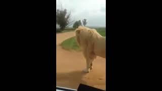 Habib Umar @Lion Park