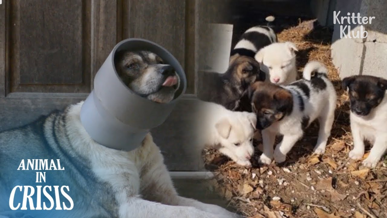 With A Pipe Stuck On Her Neck, There's Nothing A Pregnant Dog Can Do | Animal in Crisis EP266