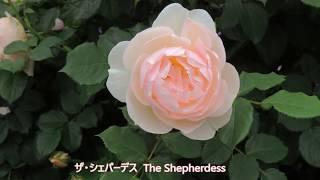 イングリッシュローズのコーナーもリニュアルされていろんな草花とバラ...