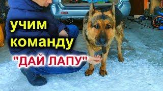 Учим команду ДАЙ ЛАПУ - первые уроки собака породы немецкая овчарка, Джейкоб