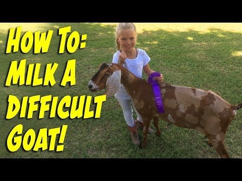 How to Milk a Difficult Goat!