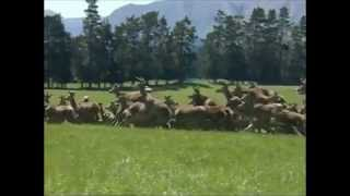 New Zealand Deer Industry | Antler Farms