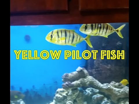 Yellow Pilot Fish - FOWLR