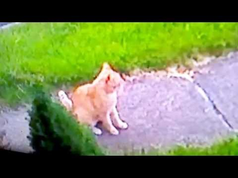 Stray Feral Cats & Animals captured on Security Camera Visiting Neighbor's property