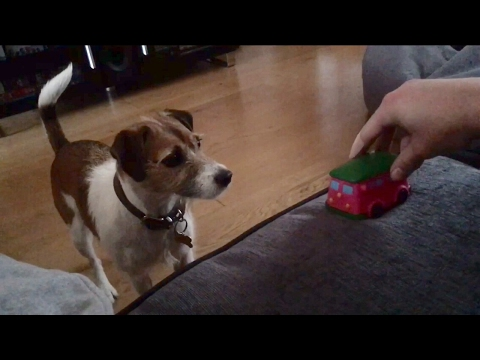 Jack Russell obsessed with new toy car